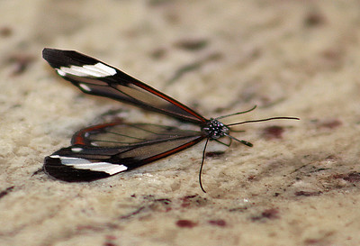 Greta Morgane or Thick-tipped Greta Glasswing Butterfly