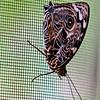 Blomfild's Beauty (top or wings folded side)