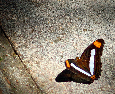 Adelpha Iphiclus Butterfly
