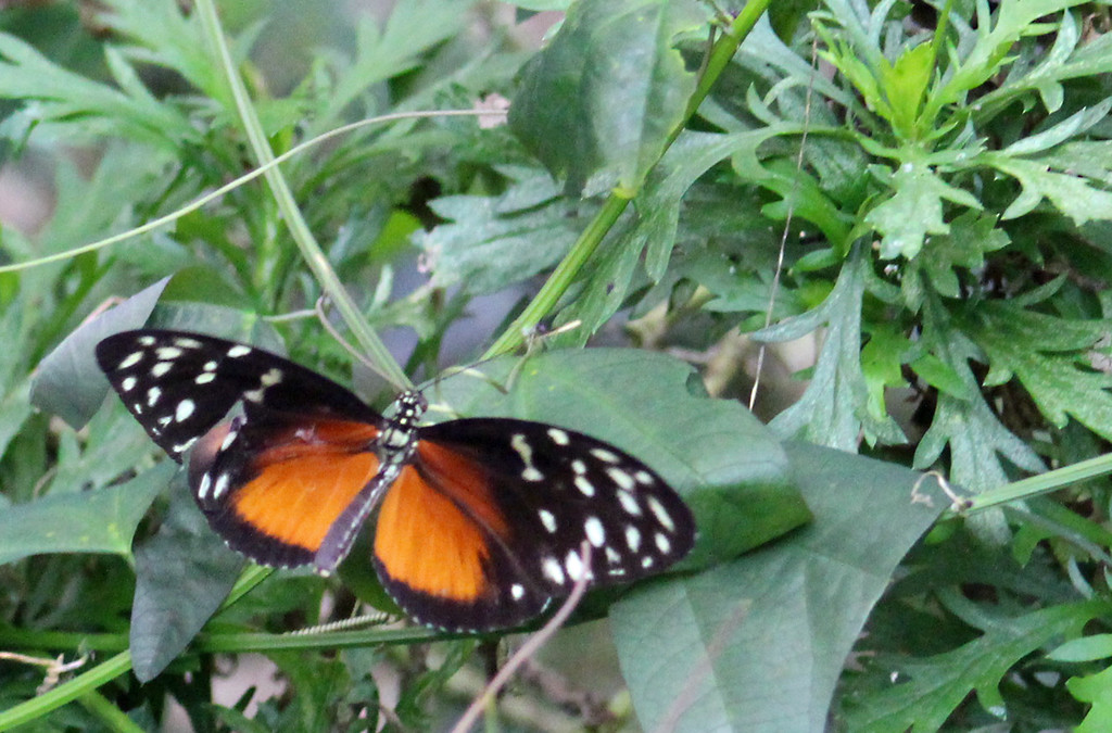 Heart-spotted Heliconian or Heliconius Hecale Zuleika
