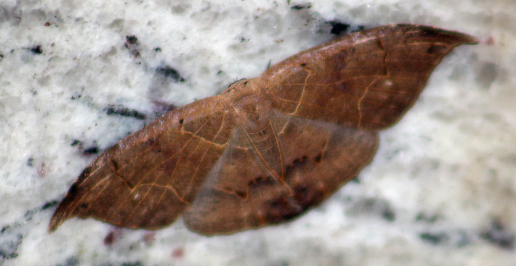 """Dead Leaf"" or Lonomia Moth"