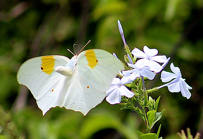 White Angled Sulphur Butterfly