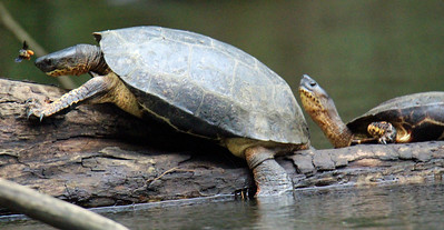 Black River Turtle   ---   Attacked by a Bee?