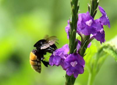 Unidentified Bee