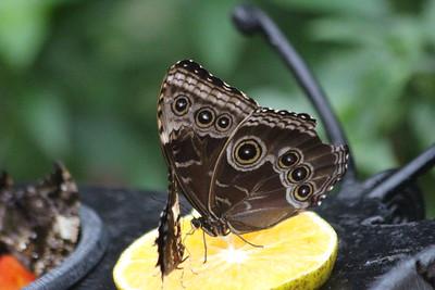 Blue Morpho Butterfly - bottom or wings folded side