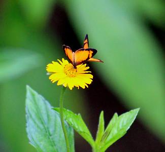 Black-bordered Tegosa Butterfly