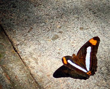 Adelpha Iphiclus Butterfly