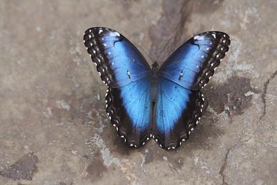 Blue Morpho Butterfly - top