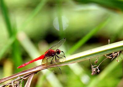 Scarlet Skimmer  Dragonfly