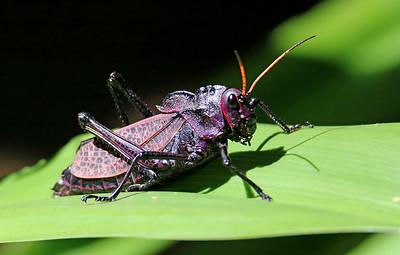 Giant Purple Grasshopper