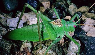 Katydid Grasshopper or Bush Cricket