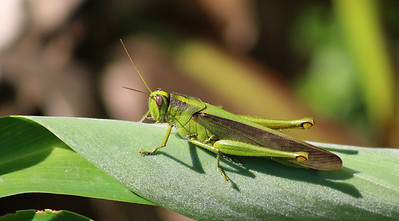 Grasshopper (unknown 1 of 11,000 species)
