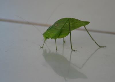 Walking Leaf Katydid