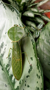 Hooded Mantis