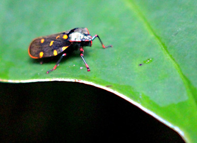 Unknown Insect, a tiny beetle