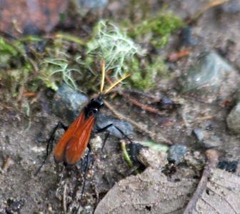 Red Net-winged Beetle