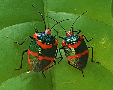 Jewel bug or Metallic shield bug (Scutelleridae)