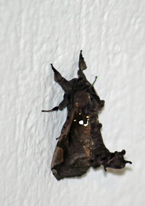 Unknown Dead Leaf Looking Insect (Side View)