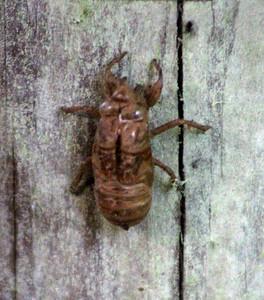 Cicada Skin Shedd