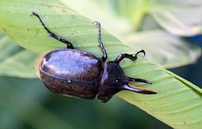 Rhinosceros or Hercules Beetle