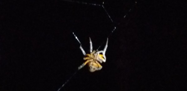 Orange-bellied Spider
