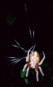 Fleur de Lis Spider  (my name)