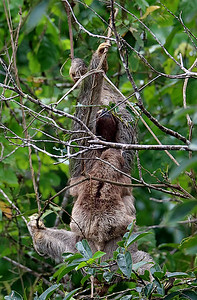 Brown-throated 3-toed Sloth with Baby