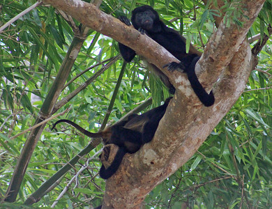 Mantled Howler Monkey Family (3 of 9 seen)