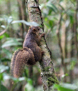 Alfaro's or Central American Pygmy Squirrel