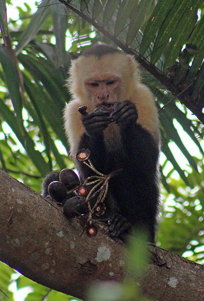 White-faced Capuchin Monkey Eating Fruit