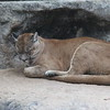 Puma or Cougar