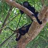 Mantled Howler Monkey Family (3 of 9 seen)