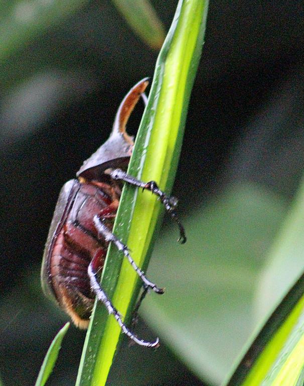Rhinosceros Beetle or Hercules Beetle