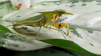 Hooded Mantis