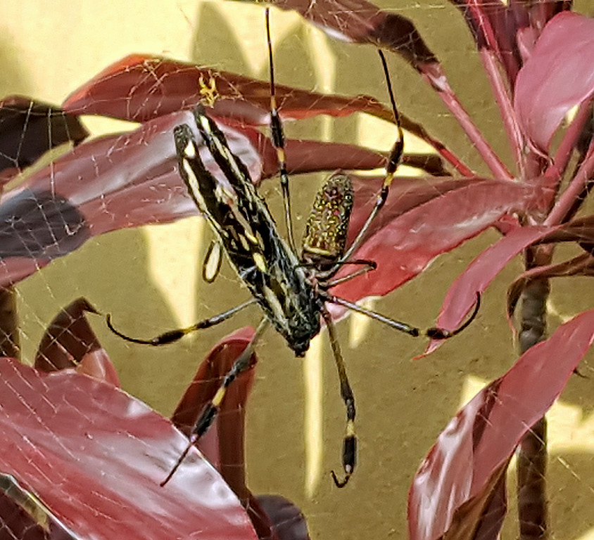 Golden Orb Spider with Butterfly Catch in Web
