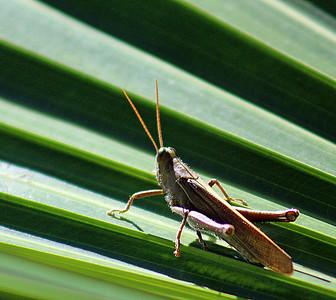 Grasshopper   (one of 11,000 species in Costa Rica)