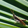Grasshopper   (one of 11,000 species in Costa Rica)