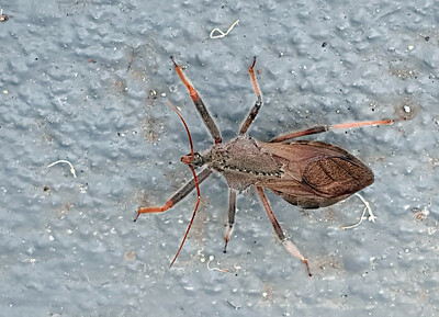 Cogwheel or Assassin Bug (Arilus carinatus)