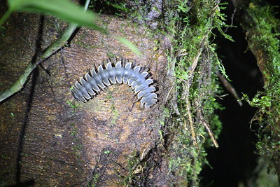 Forest Floor Millipede