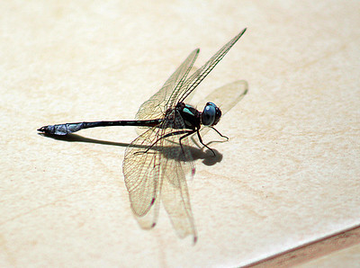 Dragonfly, Unknown Species