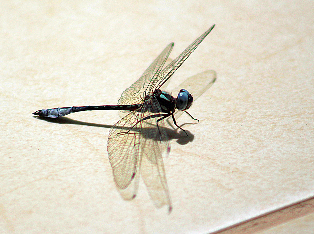 Dragonfly, Unknown Species