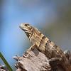 Spiny-tailed Iguana Juvenile