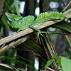 """Green Basilisk or """"Jesus Christ Lizard"""""""