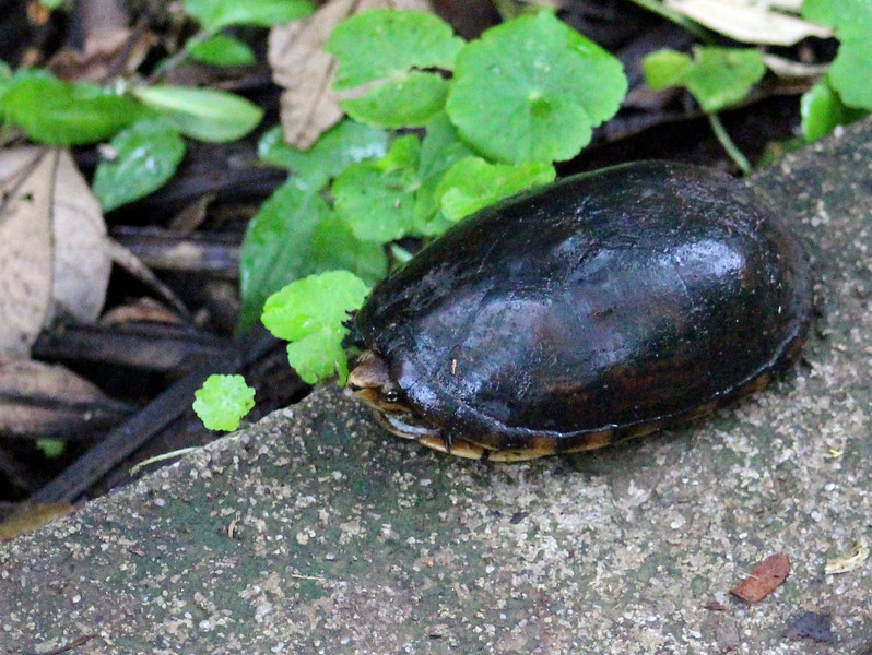 Brown Forest Turtle