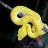 Yellow Eyelash Pitviper
