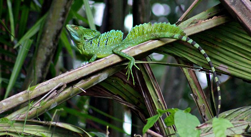"""Emerald or Green Basilisk or """"Jesus Christ Lizard"""""""