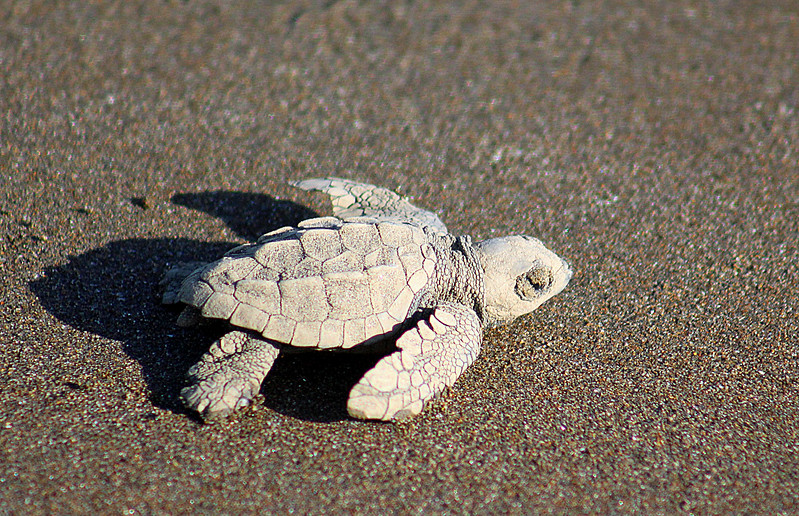 Olive Ridley Turtle  ---  Headed for the water by instinct. 1 in 1,000 will make it to adulthood.