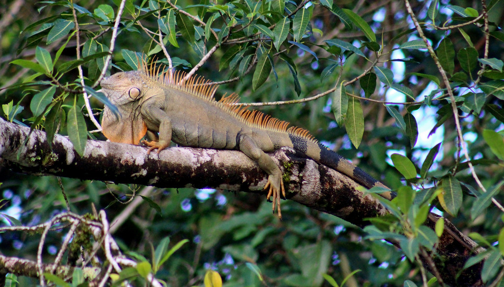 Green Iguana male (in mating orange)