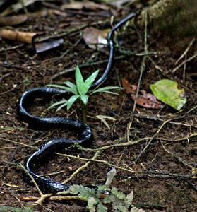 Ebony Keelback Snake