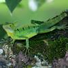Emerald Basilisk (or Green Basilisk)
